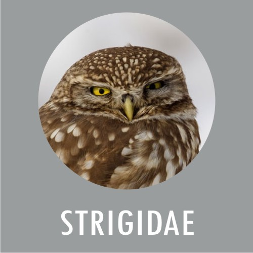 Strigidae