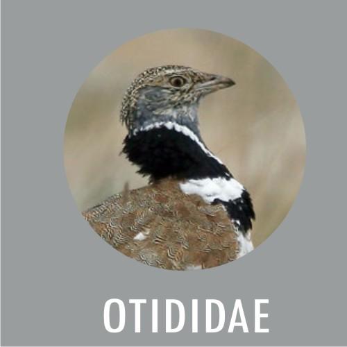 OTIDIDAE