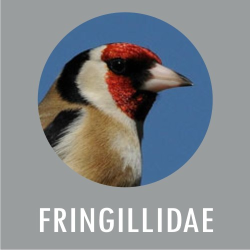 Fringillidae