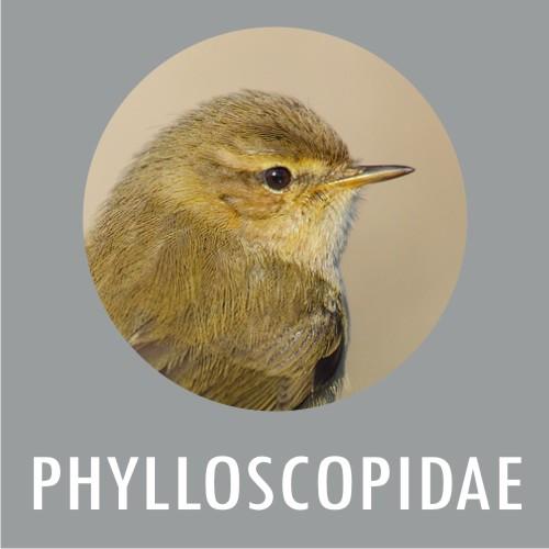 Philloscopidae