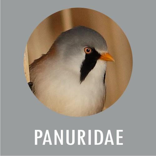 Panuridae
