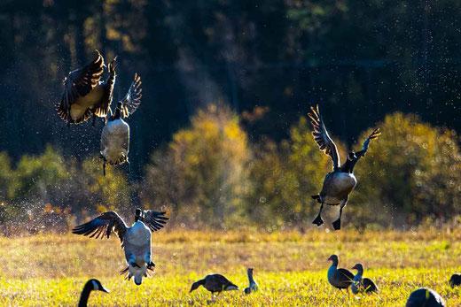 Jagen mit Lockvögel - Gänseschoof im Anflug