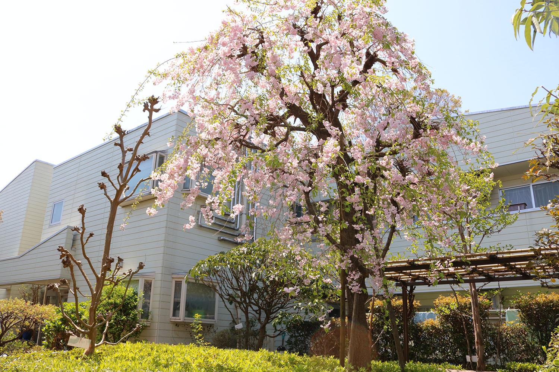 中庭のしだれ桜にみなさまうっとり