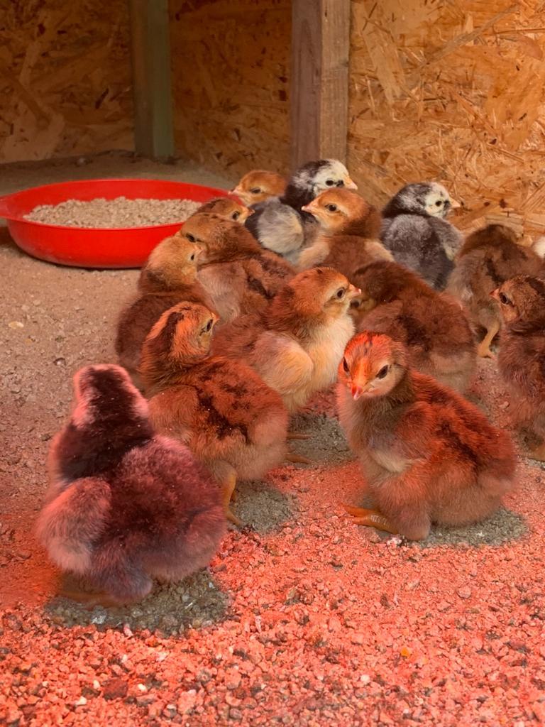 Nachwuchs bei unseren Hühnern