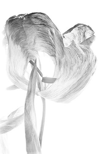 Tulpe 1, Fiber-Based- Fine Art Print, 57x42 cm, 2011