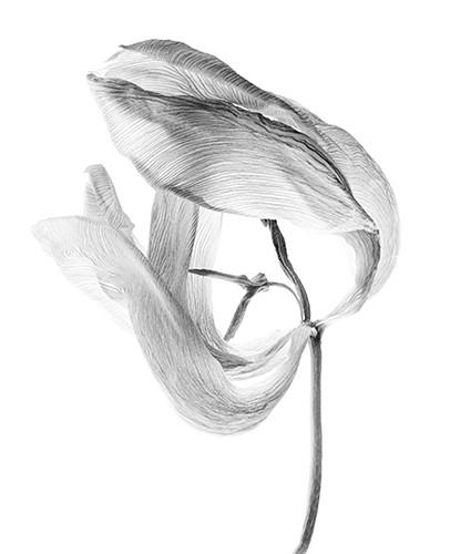 Tulpe 2, Fiber-Based-Fine Art Print , 42x57 cm, 2012