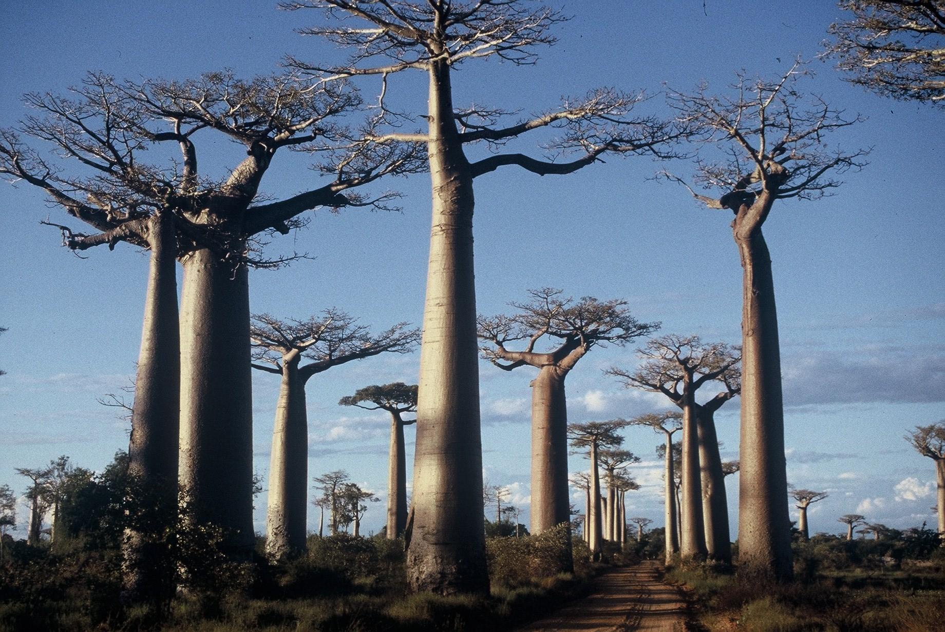 Majestueux baobabs Grandidiéri