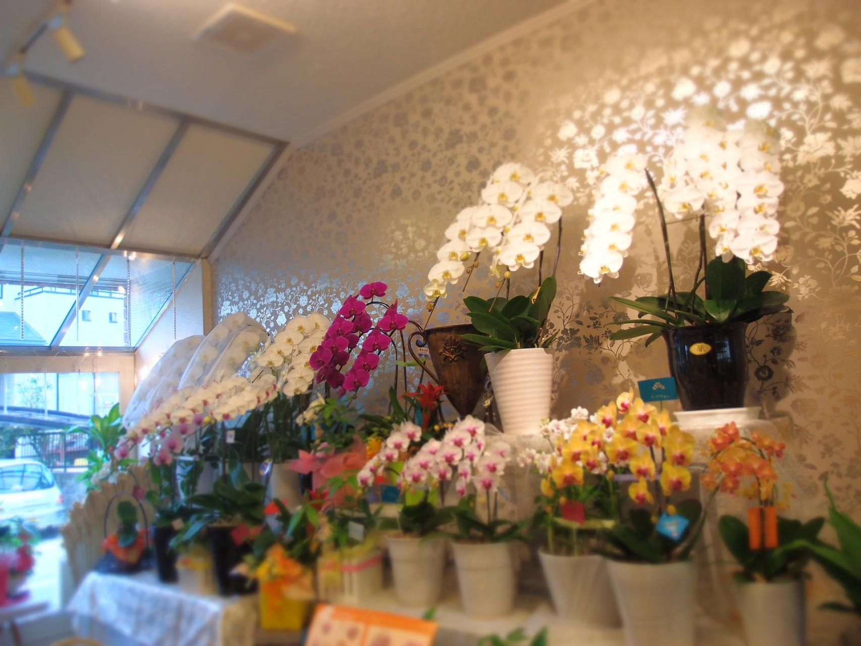 胡蝶蘭や観葉植物などの鉢物も揃えております。