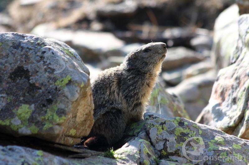 Marmotte - Doriane GAUTIER, Couserando - Ariège Pyrénées