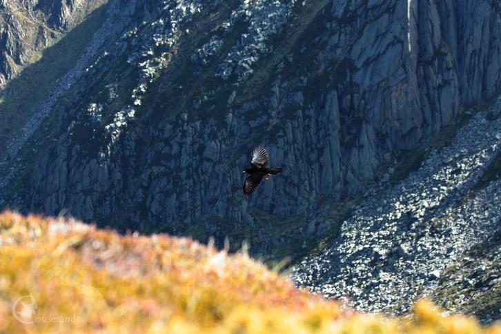 Chocard à bec jaune -  Doriane GAUTIER, Couserando - Randonnée Nature Ariège Pyrénées