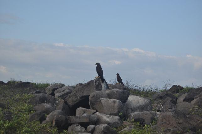 der Galapagosfalke, das groesste Raubtier an Land...