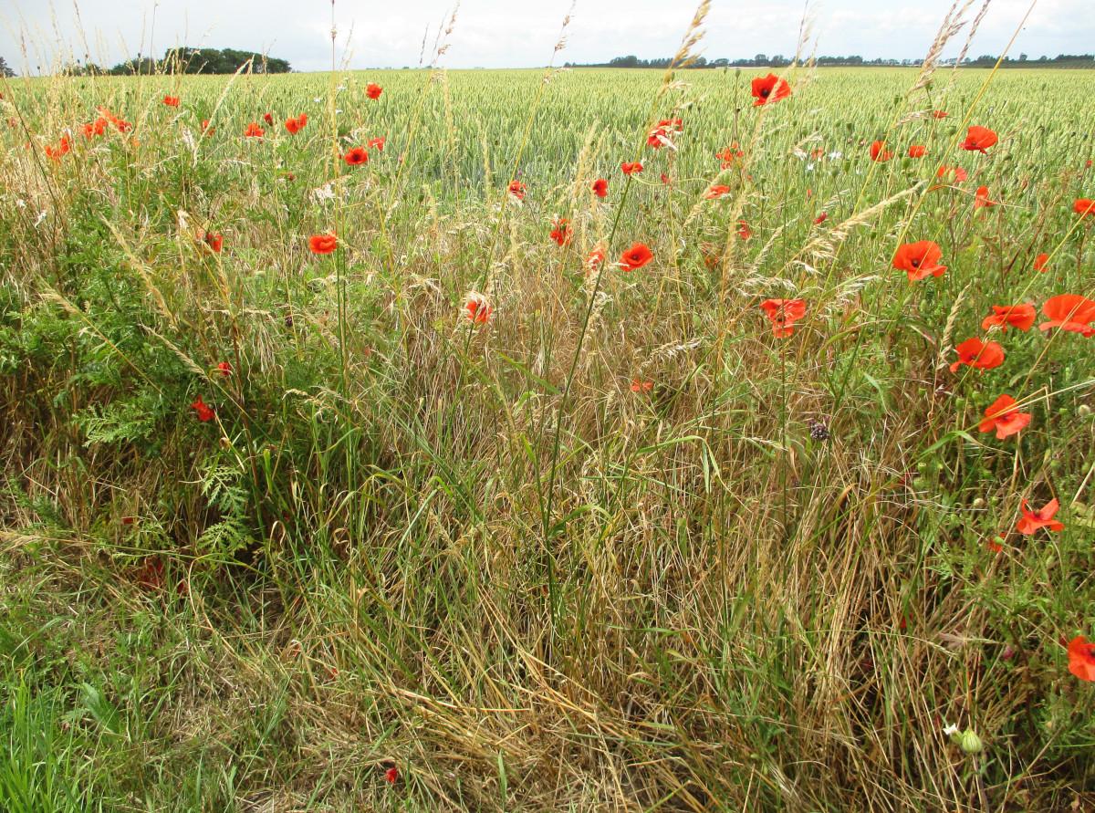 Sommerblumen am Feldrand