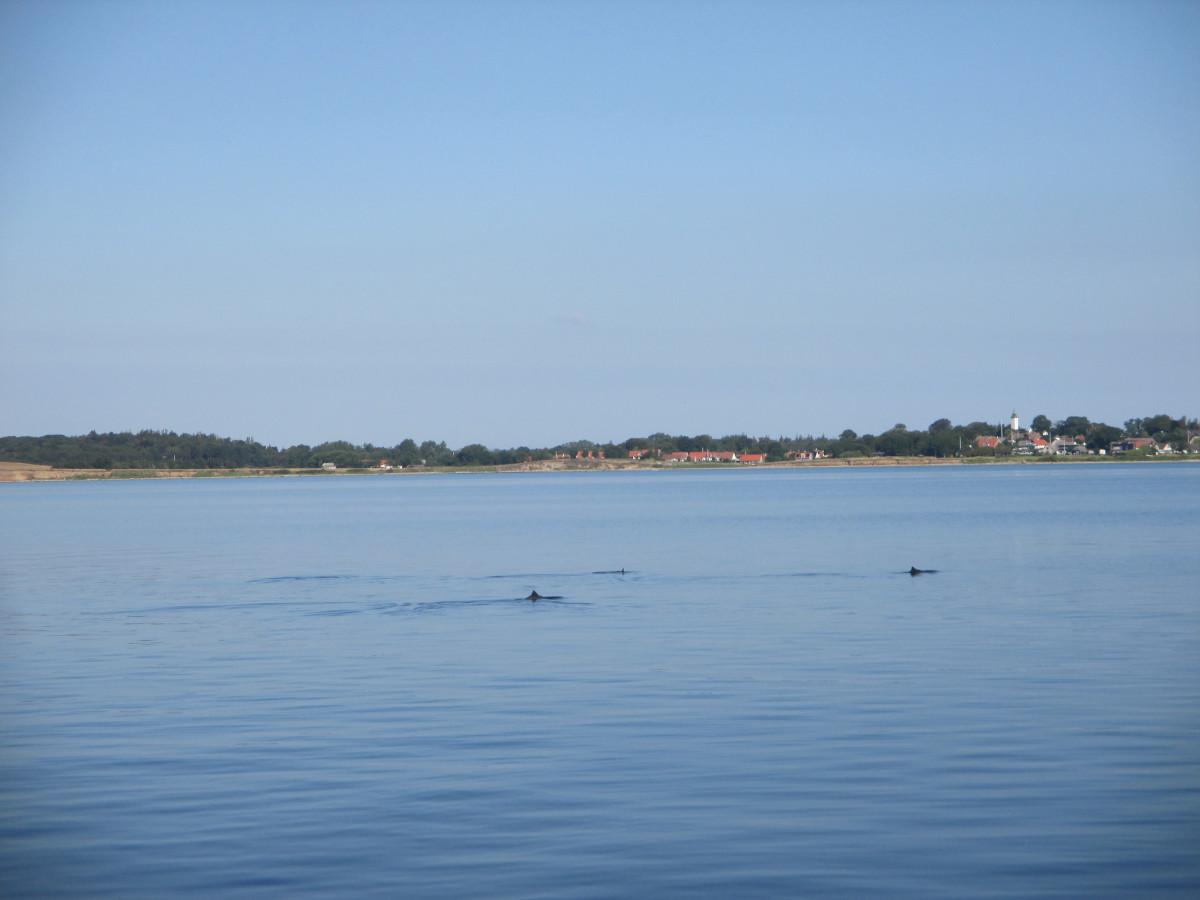 Schweinswale bei Tunø
