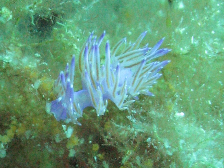 IS0/IZ0KRC - Flabellina di mare - Underwater photo '09