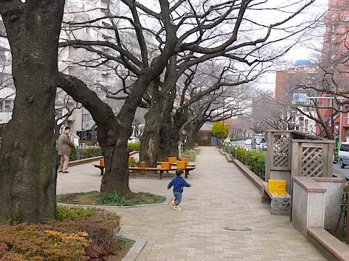 3連3条のぜいたくな桜並木坂を下って行きます