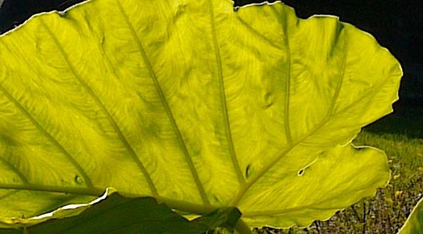 里芋の葉 でかい