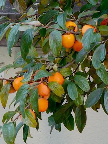 カキの使いやあらへんで/渋柿は残され完熟すると鳥が食し、カキの使いとして遠方に種子を運ぶことになる。子孫繁栄は渋柿の作戦勝ち
