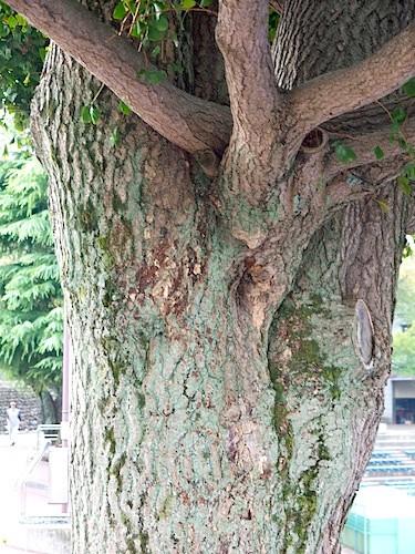 黙して語らない樹木はいない。表情たっぷりに話しかけてくる(これはヒマラヤシーダー)