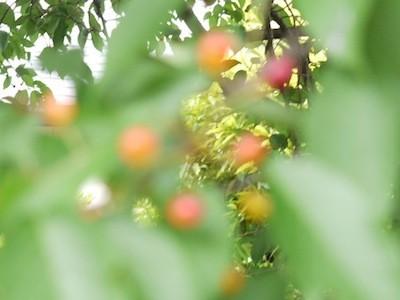 鳥はおいしそうに食べている桜並木の苦いサクランボ
