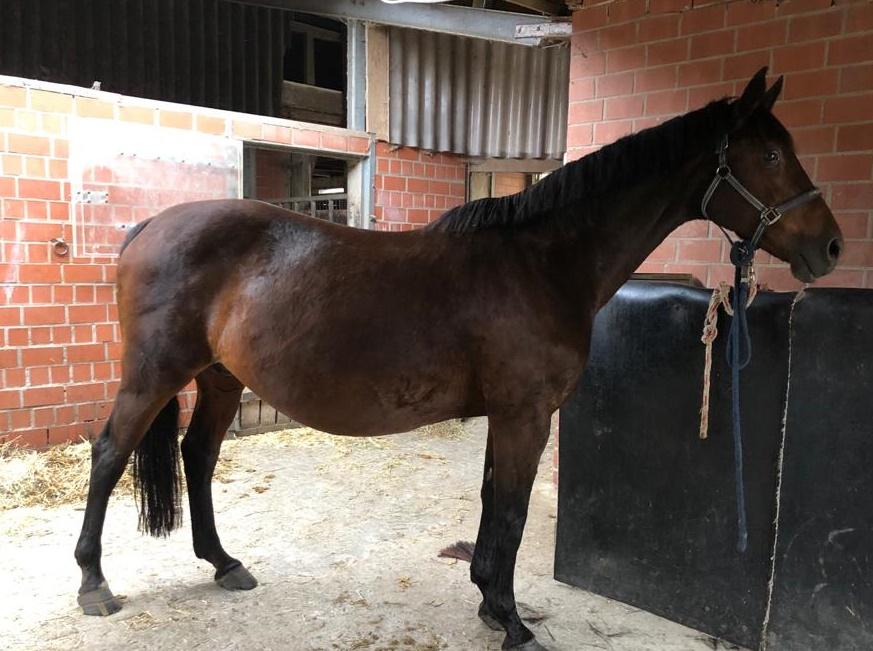 """Die Stute """"Refina"""" - ein 17 Jahre altes, gut für den Umgang mit Kindern geeignetes, Pferd mit sanftem Wesen und ausgeglichenem Gemüt"""