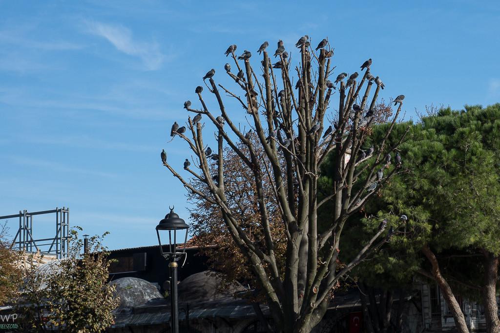 Konferenz der Tauben