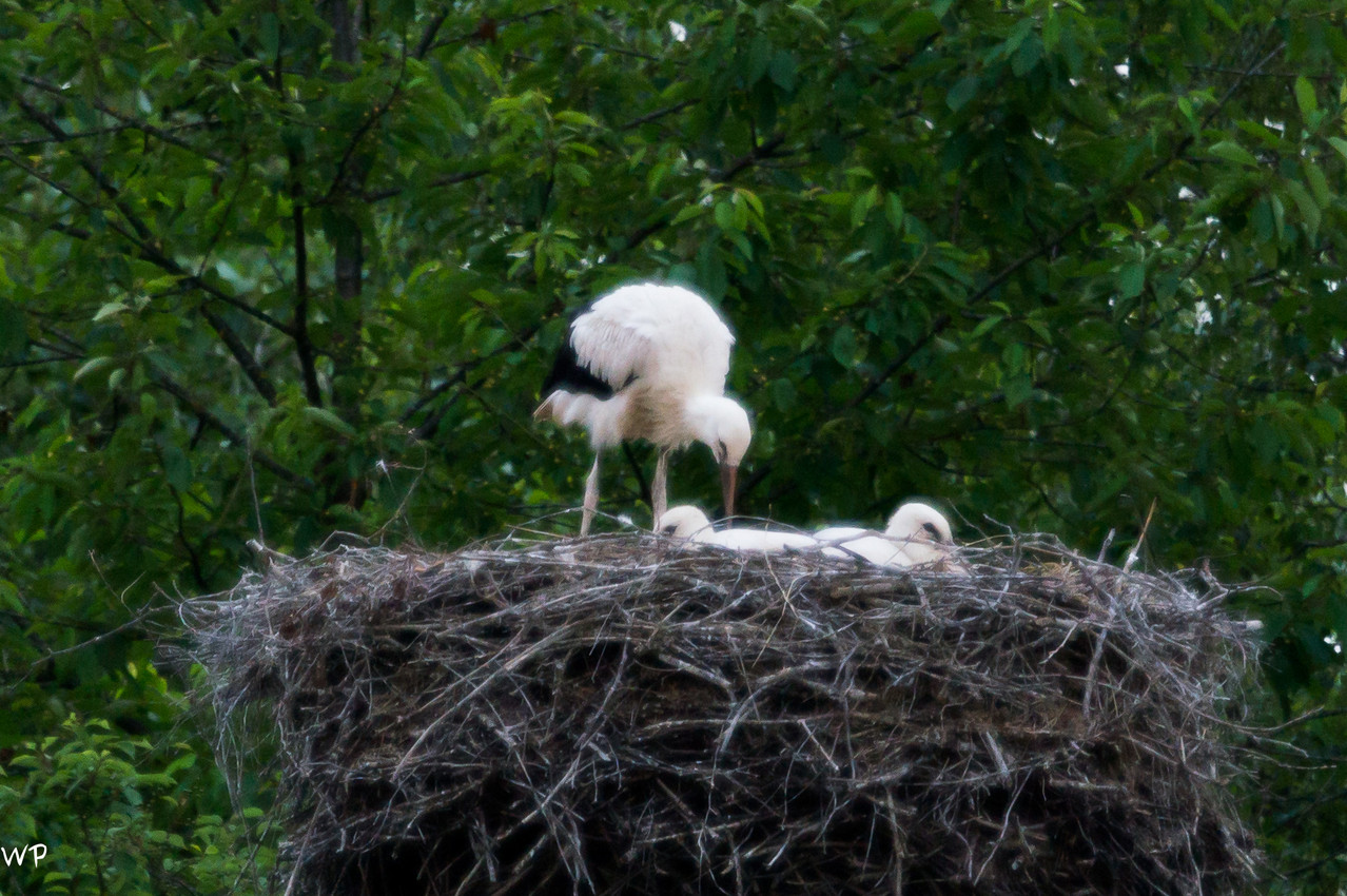 Mama Storch nestet