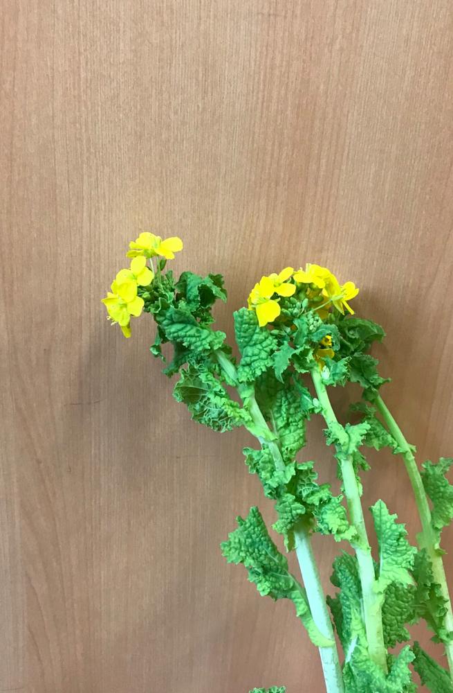今日は、菜の花を使います