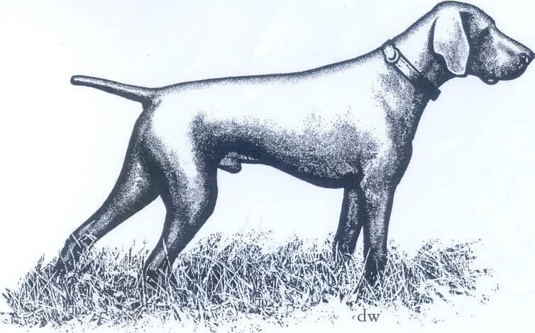 Порода собак курцхаар картинка раскраска