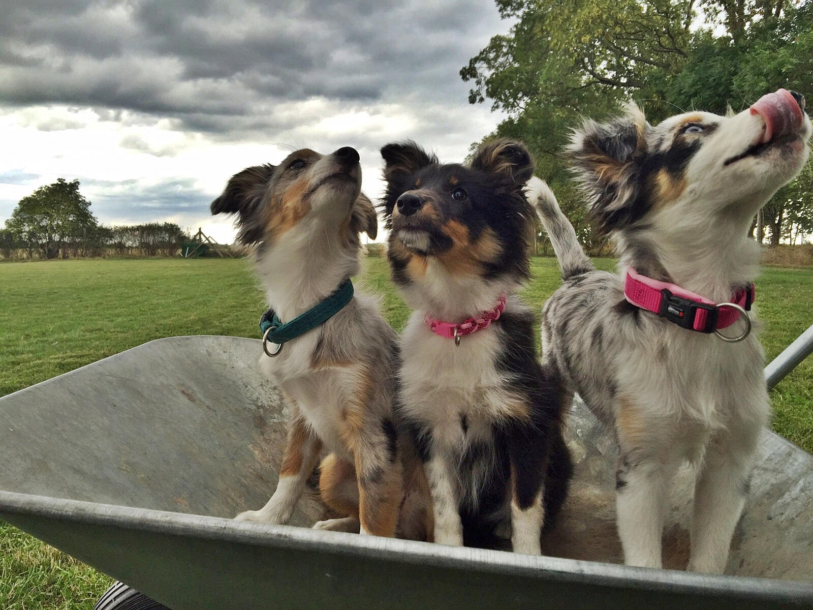 das Welpentrio vom Hundeplatz >>> Holly - Ginger - Haily