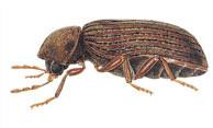 insectes xylophages avibois traitement des bois parquets r novation. Black Bedroom Furniture Sets. Home Design Ideas