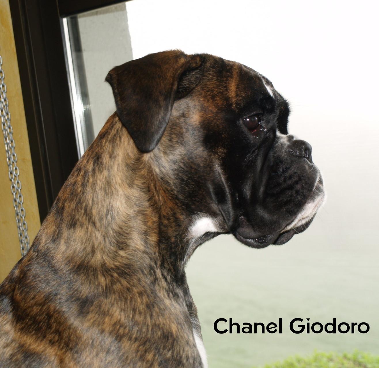 Chanel Giodoro (Axelmose' x Query di Massumatico)