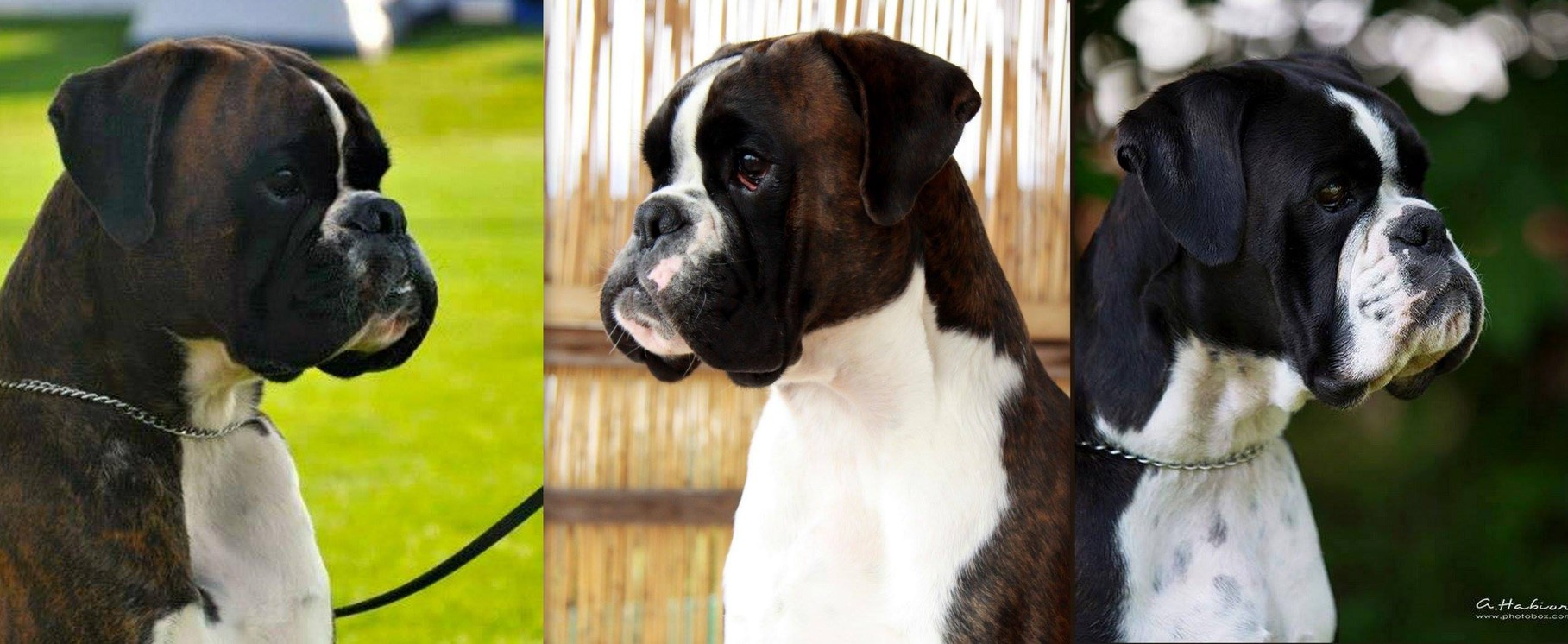 Che S.C. Athena's Dream with father Laurin's Boxer Alim and mother Angel Athena's Dream