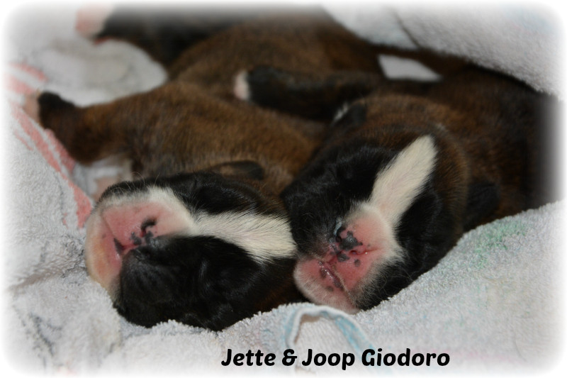 Jette Giodoro & Joop Giodoro - 11 days old - not available