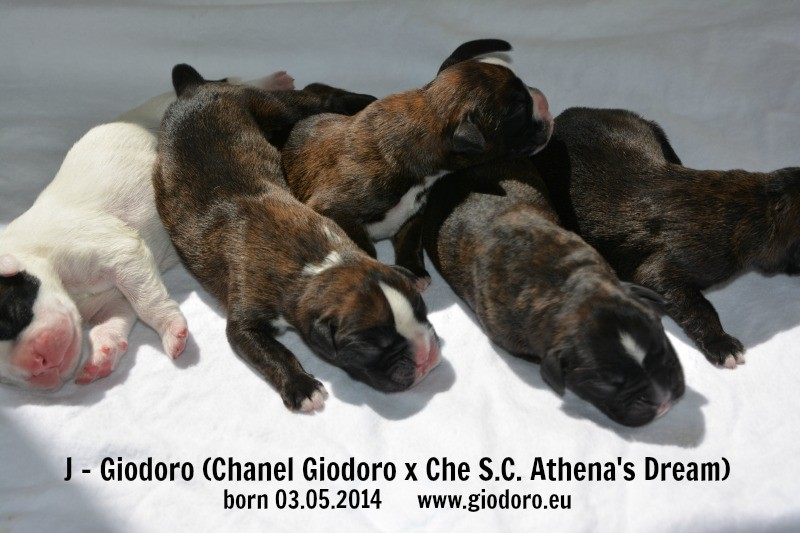 J-Litter Giodoro - 1 day old