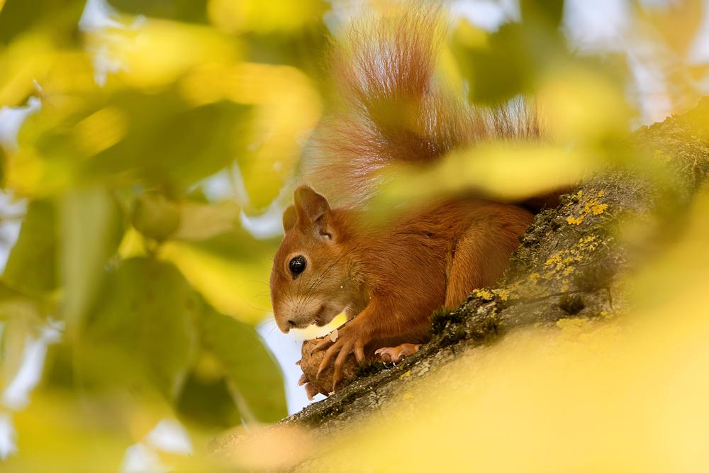 Eichhörnchen - Garten Heimstättensiedlung © Jürgen Landshoeft