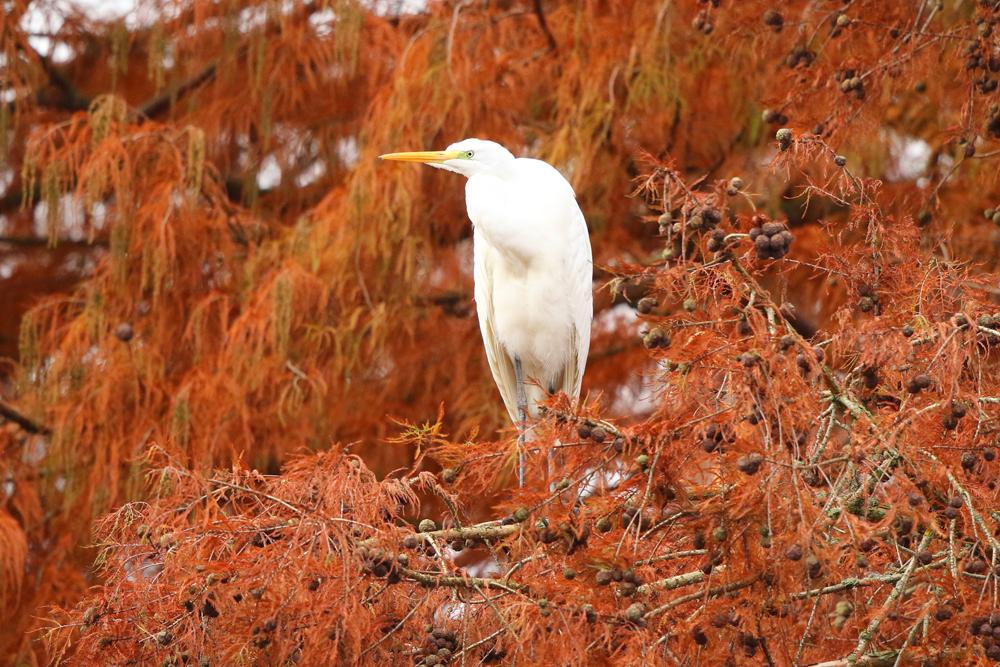 Rot-Weiß in den farbigen Sumpfzypressen der Insel