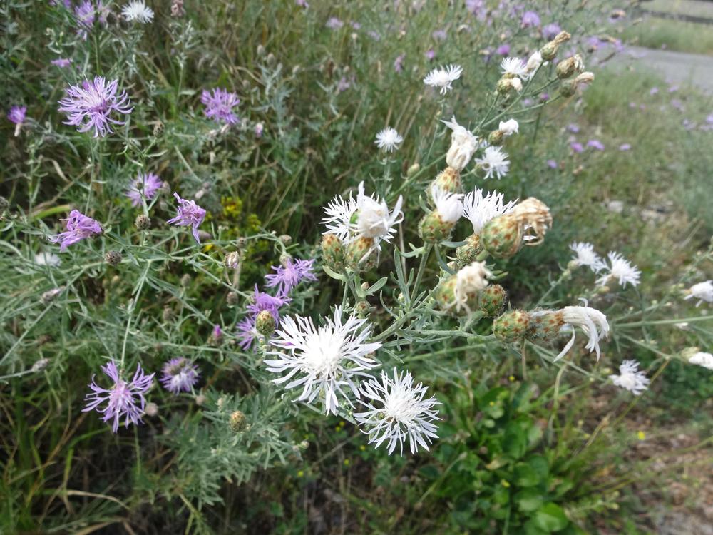Weiße Rispen-Flockenblume