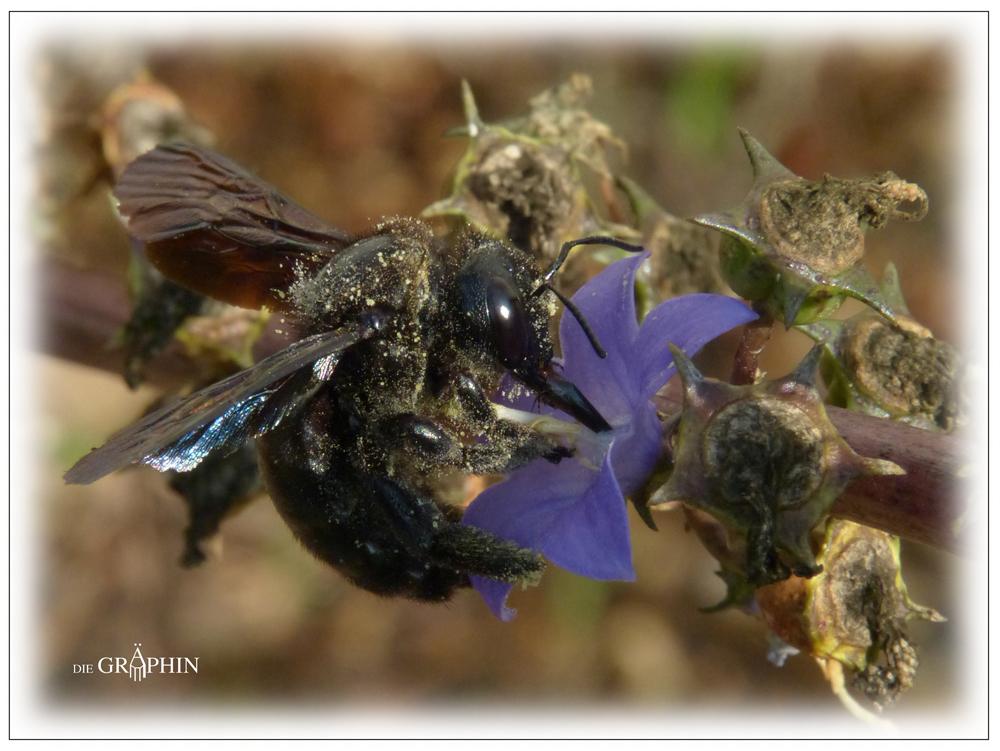 Holzbiene - Botanischer Garten DA © Jennie Bödeker