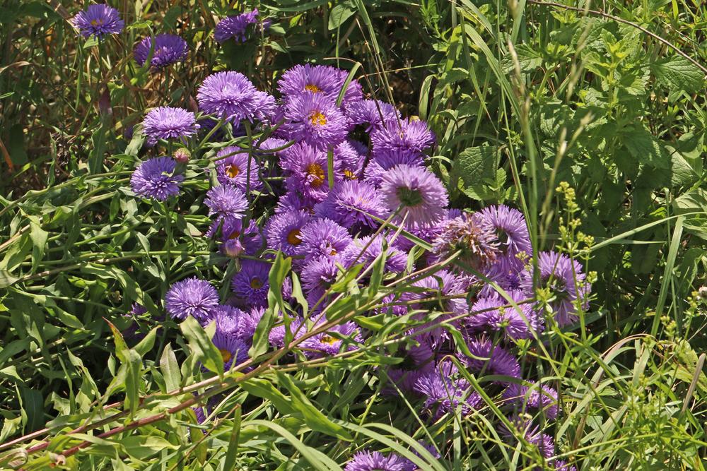 Offene Blüten - hier Sommeraster