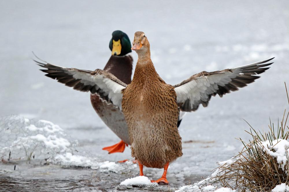 Gymnastik der Entenhybriden auf dem Eis