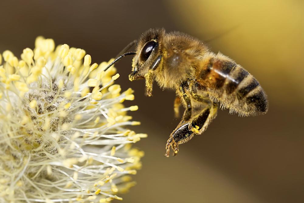 Biene am Kätzchen - Heimstättensiedlung © Jürgen Landshoeft