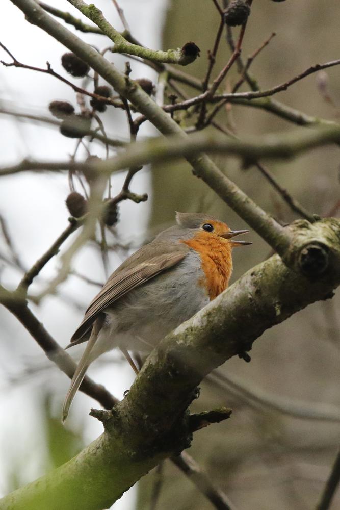 Rotkehlchen singt trotz Rückenwind