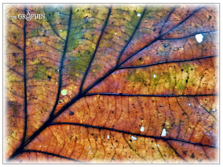 Herbstliches Eichenblatt © Jennie Bödeker