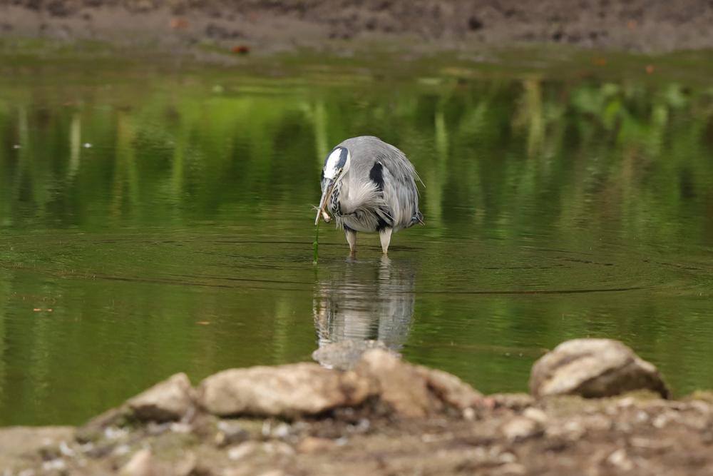 Erfolgreiche Jagd des Graureihers - Steinbrücker Teich © Hans Günter Abt