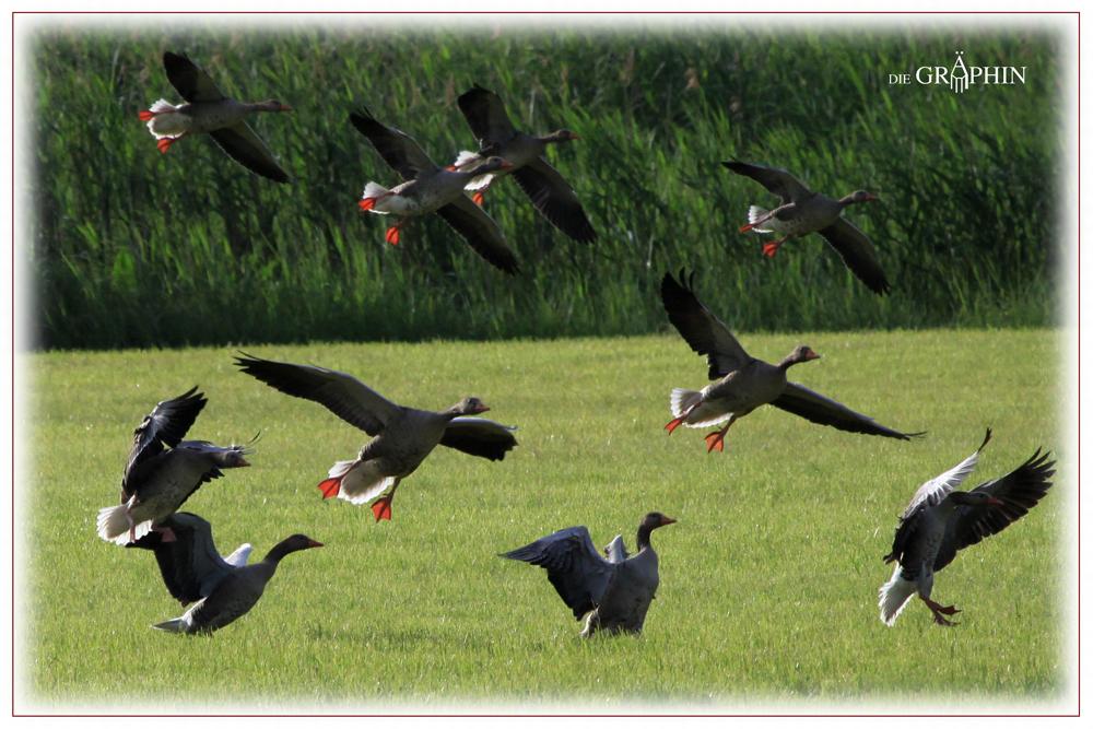 Landung der Graugänse - Reinheimer Teich © Jennie Bödeker