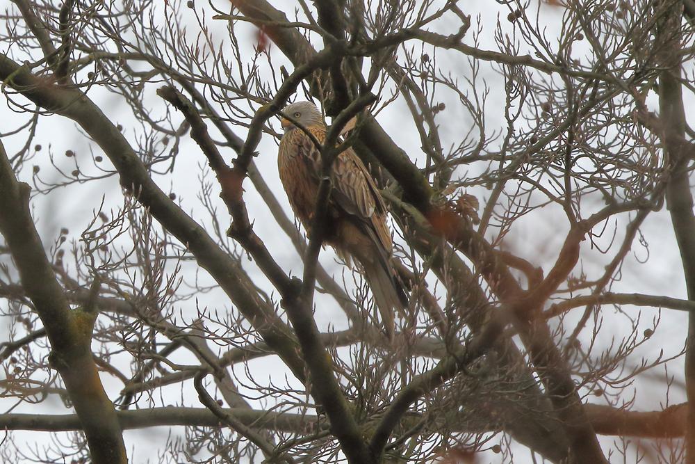 Rotmilan ruht im Baum
