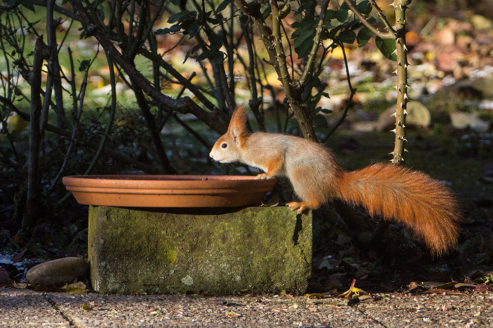 Durstiges Eichhörnchen - Garten auf der Rosenhöhe © Anke Steffens