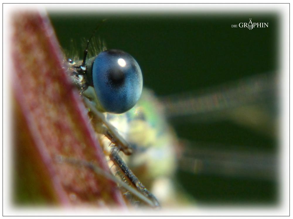 Auge der Weidenjungfer - Botanischer Garten DA © Jennie Bödeker