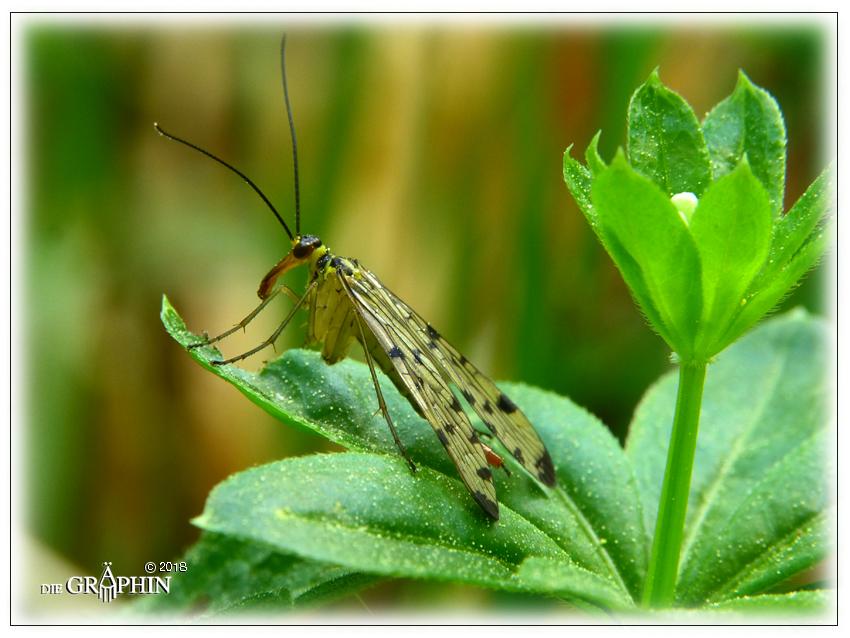Skorpionsfliege - Odenwald © Jennie Bödeker