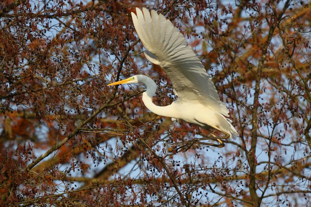 Sichere Landung des Silberreihers mit langen Beinen